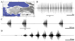 Figure 7. Distribution map (A) and male calling song of Parapholidoptera salmani (B sequences of phrases C a group of phrases and D one complete phrase).