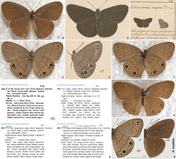 """Figures 1–9. Historical illustrations and specimens of Hermeuptychia sosybius, its original description, and neotype. 1–3 Illustration of Hermeuptychia sosybius syntype(s) by William Jones [1745–1818] from an unpublished book called the """"Icones"""" (Vane-Wright 2010[2]), currently in Oxford University Museum of Natural History, UK (Smith 1986[3]). 1 shows the upper right quadrant of the plate LII from Volume 5 2, 3 are magnified cropped images off this plate showing dorsal and ventral aspects, respectively; ventral image (3) is rotated clockwise for the ease of comparison with specimens. The specimen with ventral side illustrated (3 and on the right in 1) is designated as the lectotype herein and is apparently lost 4–7 Two possible syntypes of Hermeuptychia sosybius from the Macleay collection (Macleay Museum, The University of Sydney, Australia). Neither specimen bears any labels 4, 6 show dorsal aspect and 5, 7 show ventral aspect 8 Original description of Hermeuptychia sosybius and its translations. Note that the Jones illustrations of Hermeuptychia sosybius are currently bound within Volume 5, and not 6 as per description 9 Neotype of Hermeuptychia sosybius (designated herein, also see Figs 10–11, genitalia Fig. 62p, DNA barcode tree Fig. 66b), in USNM collection, from USA: Georgia: Chatham Co., Savannah, 28-Jul-1958, leg. G. B. Small, genitalia NVG131102-61, DNA voucher 13386A07, GenBank accession for mitochondrial DNA COI barcode KJ025561. Scale bar refers to 9 only, other images are scaled approximately. Images 1–3 are copyright of Oxford University Museum of Natural History, UK (used with permission), and images 4–7 are copyright of Macleay Museum, The University of Sydney, Australia and are photographed by Robert Blackburn (used with permission)."""