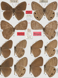 """Figures 10–21. Hermeuptychia sosybius. 10–11 neotype designated herein and 12–13 holotype of Hermeuptychia hermes kappeli, data in text 14–15 ♂ USA: Texas, Wise Co., LBJ National Grassland, ex ovum, eclosed 3-Aug-1998, leg. N. V. Grishin 16–17 ♀ ibid, 10-Aug-1998 18–19 ♂ USA: Texas, Brazoria Co., Bar-X Ranch, Rd. 971N, ex ovum, eclosed 18-Apr-2000, leg. N. V. Grishin 20–21 ♀ ibid, 21-Apr-2000. Dorsal/ventral surfaces are in even/odd-numbered figures. Labels are shown for primary types in-line with the specimens and are reduced 2.5-fold compared to specimens as indicated by a smaller scale bar. """"F"""" specifies mirror image (left-right inverted)."""