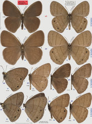 """Figures 48–59. Hermeuptychia hermybius. 48–49 holotype, others are paratypes, data in text and Table 1. Sexes and DNA or genitalia voucher codes, or data: 50–51 ♀ USA: Texas: Cameron Co., Brownsville, ex ovum, eclosed 2-Apr-2003, leg. N. V. Grishin 52 ♂ NVG-1635 53 ♂ 13385H10 54–55 ♂ NVG-1607 56 ♂ NVG-1699 57 ♀ NVG-1737 58 ♂ NVG130104-23 59 ♂ NVG130104-24. Dorsal wing surfaces are in 48, 50, 54 others are ventral. Labels are shown for the holotype and are reduced 2.5-fold compared to specimens as indicated by a smaller scale bar. """"F"""" specifies mirror image (left-right inverted)."""