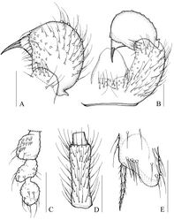 Figure 7. Peyerimhoffia shennongjiana Shi & Huang, sp. n., male, holotype. A Right gonostylus, ventral view B Part of hypopygium, ventral view C Palp, lateral view D Fourth flagellomere, lateral view E Apex of foretibia, prolateral view. Scale, 0.10 mm.