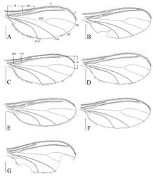 Figure 8. Wings, dorsal view. A Peyerimhoffia hamata sp. n. (holotype) B Peyerimhoffia obesa sp. n. (holotype) C Peyerimhoffia sparsula sp. n. (holotype) D Peyerimhoffia longiprojecta sp. n. (holotype) E Peyerimhoffia brachypoda sp. n. (holotype) F Peyerimhoffia yunnana sp. n. (holotype) G Peyerimhoffia shennongjiana sp. n. (holotype). Scale, 0.50 mm.