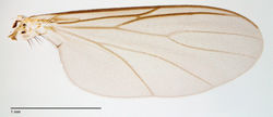 Figure 52. Megophthalmidia occidentalis Johannsen, wing [male, # 13M284]. Scale bar = 1 mm.