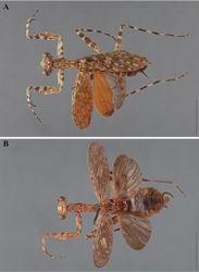 Figure 7. Liturgusa, dorsal habitus: A Liturgusa neblina sp. n., holotype female from Cerro de la Neblina, Venezuela (USNM 006) B Liturgusa maroni sp. n., holotype female from St. Laurent du Maroni, French Guiana (MNHN 019).