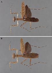 Figure 11. Liturgusa kirtlandi sp. n., dorsal habitus: A holotype male from Santa Cruz, Bolivia (CLEV GSMC000281) B allotype female from Santa Cruz, Bolivia (CLEV GSMC000274).