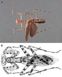 Figure 12. Liturgusa, dorsal habitus: A Liturgusa manausensis sp. n., holotype male from north of Manaus, Brazil (USNM 001) B Liturgusa maya Saussure & Zehntner, 1894, illustration of female from Peru by Julio Rivera.