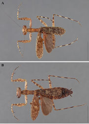 Figure 17. Liturgusa trinidadensis sp. n., dorsal habitus: A holotype male from Trinidad (ANSP 035) B allotype female from Caparo, Trinidad (ANSP 099).