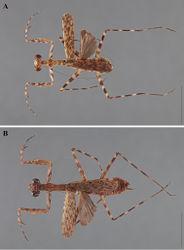 Figure 19. Liturgusa cursor Rehn, 1950, dorsal habitus: A paratype male from Barro Colorado Island, Panama (ANSP 061) B paratype female from Barro Colorado Island, Panama (ANSP 070).