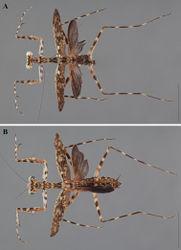 Figure 22. Liturgusa milleri sp. n., dorsal habitus: A holotype male from Kaw Mountain, French Guiana (CLEV GSMC000264) B allotype female from Kaw Mountain, French Guiana (CLEV GSMC000260).