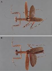 Figure 23. Liturgusa actuosa Rehn, 1950, dorsal habitus: A male from Barro Colorado Island, Panama (USNM 012) B female from Barro Colorado Island, Panama (CAS 011).