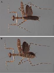 Figure 24. Liturgusa algorei sp. n., dorsal habitus: A holotype male from Loreto, Peru (CLEV GSMC004007) B allotype female from Loreto, Peru (CLEV GSMC004011).