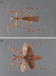 Figure 25. Liturgusa cameroni sp. n., dorsal habitus: A holotype male from Guyana (ANSP 047) B allotype female from Maracay, Venezuela (CAS 003).