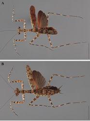 Figure 26. Liturgusa krattorum sp. n., dorsal habitus: A holotype male from Loreto, Peru (CLEV GSMC004004) B allotype female from Loreto, Peru (CLEV GSMC004032).