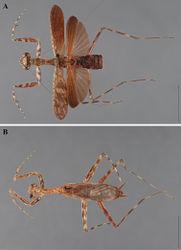 Figure 29. Liturgusa purus sp. n., dorsal habitus: A holotype male from Rio Purus, Brazil (ANSP 101) B allotype female from Rio Purus (ANSP 103).