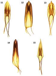 Figures 11–15. Male genitalia of: 11 Cymatodera bogcioides 12 Cymatodera pueblae 13 Cymatodera mitae 14 Cymatodera lineata 15 Bogcia oaxacae.