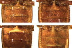 Figures 30–33. First and second visible ventrites of: 30 Cymatodera bogcioides (male) 31 Cymatodera bogcioides (female) 32 Cymatodera mitae (male) 33 Cymatodera mitae (female). Arrows indicate transverse carinae.