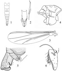 Figures 1–6. Rheocricotopus (Psilocricotopus) brochus sp. n., male. 1 abdomen tergites coloration 2 cibarial pump, tentorium and stipes 3 wing 4 thorax 5 hypopygium (dorsal view) 6 hypopygium (ventral view).