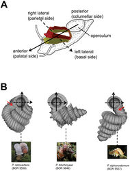 Figures 9. Positioning scheme for the description of aperture and peristomes. A anterior, posterior, right and left lateral sides of aperture and peristome are defined according to the orientation of the shell relative to the active animal B Three shell examples showing the defined positions of aperture and peristome. Red arrows point to the aperture area with the densest ribs.