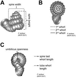 Figures 11. Shell measurements. A height and width of spire B number of whorls C spire last whorl length, tuba whorl length and umbilicus openness.
