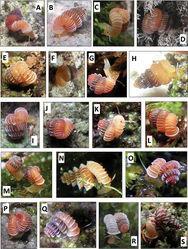 Figures 17. Photographs of 17 living Plectostoma species. A Plectostoma salpidomon (van Benthem Jutting, 1952), BOR 5569 B Plectostoma umbilicatum (van Benthem Jutting, 1952), BOR 5503 C Plectostoma palinhelix (van Benthem Jutting, 1952), BOR 5520 D Plectostoma kakiense (Tomlin, 1948), BOR 5516 E Plectostoma mengaburensis sp. n., BOR 5574 F Plectostoma kubuensis sp. n., BOR 5518 G Plectostoma whitteni sp. n., BOR 5536 H Plectostoma senex (van Benthem Jutting, 1952), BOR 5631 I Plectostoma crassipupa (van Benthem Jutting, 1952), BOR 5515 J Plectostoma ikanensis sp. n. Form BOR 5507, BOR 5507 K Plectostoma ikanensis sp. n. Form BOR 5504, BOR 5504 L Plectostoma sinyumensis (Maassen, 2001), BOR 5537 M Plectostoma crassipupa (van Benthem Jutting, 1952), BOR 5512 N Plectostoma siphonostomum (van Benthem Jutting, 1952), BOR 5557 O Plectostoma laidlawi (Sykes, 1902) Form BOR 5510, BOR 5510 P Plectostoma relauensis sp. n., BOR 5511 Q Plectostoma christae (Maassen, 2001), BOR 5505 R Plectostoma retrovertens (Tomlin, 1938), BOR 5559 S Plectostoma tohchinyawi sp. n., BOR 5533.