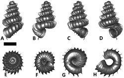 Figures 23. Plectostoma siphonostomum (van Benthem Jutting, 1952) BOR5539. A frontal view B left lateral view C back view D right lateral view E top view F bottom view G parietal part of constriction inner whorl H basal part of constriction inner whorl. Scale bar = 1 mm (for A–F).