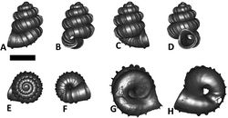 Figures 26. Plectostoma crassipupa (van Benthem Jutting, 1952) BOR 5512. A frontal view B left lateral view C back view D left lateral view E top view F bottom view G parietal part of constriction inner whorl H basal part of constriction inner whorl. Scale bar = 1 mm (for A–F).