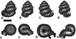 Figures 28. Plectostoma whitteni sp. n. BOR 5644. A frontal view B left lateral view C back view D right lateral view E top view F bottom view G parietal part of constriction inner whorl H basal part of constriction inner whorl. Scale bar = 1 mm (for A–F).