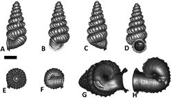 Figures 31. Plectostoma turriforme (van Benthem Jutting, 1952) BOR 5609. A frontal view B leftlateral view C back view D right lateral view E top view F bottom view G parietal part of constriction inner whorl H basal part of constriction inner whorl. Scale bar = 1 mm (for A–F).