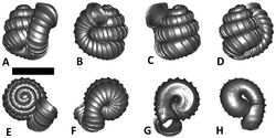 Figures 32. Plectostoma palinhelix (van Benthem Jutting, 1952) BOR 5520. A frontal view B left lateral view C back view D right lateral view E top view F bottom view G parietal part of constriction inner whorl H basal part of constriction inner whorl. Scale bar = 1 mm (for A–F).