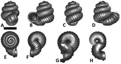 Figures 40. Plectostoma kubuensis sp. n. BOR 5648. A frontal view B left lateral view C back view D right lateral view E top view F bottom view G parietal part of constriction inner whorl H basal part of constriction inner whorl. Scale bar = 1 mm (for A–F).