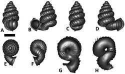 Figures 42. Plectostoma salpidomon (van Benthem Jutting, 1952) BOR 5539. A frontal view B leftlateral view C back view D right lateral view E top view F bottom view G parietal part of constriction inner whorl H basal part of constriction inner whorl. Scale bar = 1 mm (for A–F).