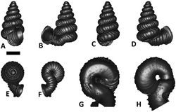 Figures 43. Plectostoma kitteli (Maassen, 2002) V 12697. A frontal view B left lateral view C back view D right lateral view E top view F bottom view G parietal part of constriction inner whorl H basal part of constriction inner whorl. Scale bar = 1 mm (for A–F).