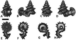 Figures 45. Plectostoma tohchinyawi sp. n. BOR 5649. A frontal view B left lateral view C back view D right lateral view E top view F bottom view G parietal part of constriction inner whorl H basal part of constriction inner whorl. Scale bar = 1 mm (for A–F).