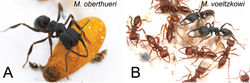 Figure 1. Colonies of Mystrium. A Mystrium oberthueri B Mystrium voeltzkowi. A a cocoon and a worker B larvae, workers, and ergatoid queens. Photos by Alex Wild.