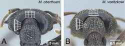 Figure 16. Vertex of workers in voeltzkowi species group. A Mystrium oberthueri (CASENT0499569) B Mystrium voeltzkowi (CASENT0002075). A, B head in posterior view.