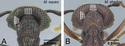 Figure 21. Vertex of ergatoid queens in voeltzkowi species group. A Mystrium eques (CASENT0418311) B Mystrium shadow (CASENT0077647: paratype). A, B head in posterior view.