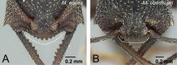 Figure 22. Clypeus of ergatoid queens in voeltzkowi species group. A Mystrium eques (CASENT0418317: paratype) B Mystrium oberthueri (CASENT0496064). A, B head in full-face view.