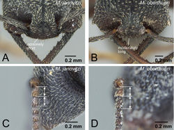 Figure 23. Differences in ergatoid queen characters between Mystrium janovitzi and Mystrium oberthueri. A Mystrium janovitzi (CASENT0482696) B Mystrium oberthueri (CASENT0496064) C Mystrium janovitzi (CASENT0003302) D Mystrium oberthueri (CASENT0095743). A, B head in full-face view C, D pedicel and flagellum in lateral view.