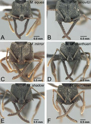 Figure 51. Head of the workers of voeltzkowi species group in full-face view. A Mystrium eques sp. n. (CASENT0418314: holotype) B Mystrium janovitzi sp. n. (CASENT0482698: holotype) C Mystrium mirror sp. n. (CASENT0429897: holotype) D Mystrium oberthueri (CASENT0496066) E Mystrium shadow sp. n. (CASENT0318933: holotype) F Mystrium voeltzkowi (CASENT0002075).