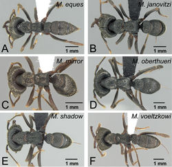 Figure 52. Workers of voeltzkowi species group in dorsal view. A Mystrium eques sp. n. (CASENT0418314: holotype) B Mystrium janovitzi sp. n. (CASENT0482698: holotype) C Mystrium mirror sp. n. (CASENT0429897: holotype) D Mystrium oberthueri (CASENT0496066) E Mystrium shadow sp. n. (CASENT0318933: holotype) F Mystrium voeltzkowi (CASENT0002075).