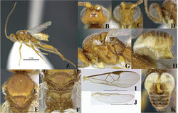 Figure 5. Female, Wilkinsonellus nescalptura Arias-Penna, Zhang & Whitfield, sp. n. A Habitus B–D Head B Dorsal view C Frontal view D Lateral view E Mesoscutum, dorsal view F Metanotum & Propodeum, dorsal view G Mesosoma, lateral view H Metasoma, lateral view I–J Wings I Fore J Hind K Metasoma, dorsal view.