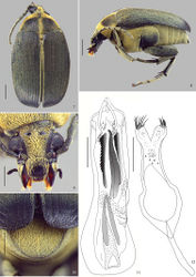 Figure 7–12. Amblycerus medialis Ribeiro-Costa, Vieira & Manfio, sp. n., holotype male: 7 dorsal 8 lateral 9 head 10 pygidium 11 median lobe of male genitalia 12 tegmen of male genitalia. Scale bars = 1.0 mm (Figs 7–8); scale bars = 0.5 mm (Figs 9–12).