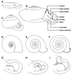 "Figure 1. Schematic of shell shapes, last whorl expansion and parietal lamella shape. Terminology of Discartemon apertural dentition in figure B. A–C Shell form and spire A flattened shell with concave spire B depressed-heliciform shell with only slightly convex spire, and C globose-heliciform with conical spire D–F Last whorl expansion D rapidly expanded E intermediately expanded, and F regularly expanded G–I Parietal lamella form G single lamella with straight shape (typical) H single lamella with curved shape (sinuous), and I modified with ""Y"" shaped lamella."