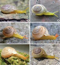 Figure 3. Living snails. A Discartemon epipedis sp. n. paratype CUMZ 6215 (shell width about 9 mm) B Discartemon flavacandida sp. n. paratype CUMZ 6216 (shell width about 12 mm)C Discartemon roebeleni topotype CUMZ 6217 (shell width about 9 mm) D Discartemon kotanensis sp. n. paratype CUMZ 6230 (shell width about 9 mm) E Discartemon megalostraka sp. n. CUMZ 6233, from Phangnga (shell width about 12 mm), and F Discartemon triancus sp. n. paratype CUMZ 6236 (shell width about 7 mm).