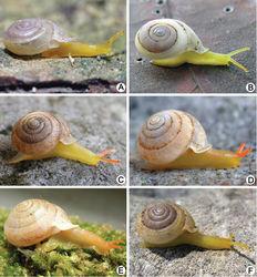 Figure 3. Living snails. A Discartemon epipedis sp. n. paratype CUMZ 6215 (shell width about 9 mm) B Discartemon flavacandida sp. n. paratype CUMZ 6216 (shell width about 12 mm)C Discartemon roebeleni topotype CUMZ 6217 (shell width about 9 mm) D Discartemon kotanensis sp. n. paratype CUMZ 6230 (shell width about 9 mm) E Discartemon megalostraka sp. n. CUMZ 6233, from Phangnga (shell width about 12 mm), and F Discartemon triancus sp. n. paratype CUMZ 6236 (shell width about 7 mm).