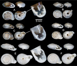 Figure 7. Shells of Group II: Discartemon plussensis-group. A, B Discartemon afthonodontia sp. n. A holotype CUMZ 6249 with apertural dentition, and B specimen CUMZ 3581, from Tam Khao Phlu, Chumphon C, D Discartemon epipedis sp. n. C holotype CUMZ 6250 with apertural dentition, and D paratype CUMZ 6020 E, F Discartemon flavacandida sp. n. E holotype CUMZ 6251 with apertural dentition, and F paratype CUMZ 3574.