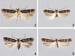 Figures 2–5. Adults. 2 Caryocolum crypticum sp. n., holotype 3 Caryocolum crypticum sp. n., paratype, female, Greece 4 Caryocolum amaurella, male, Finland 5 Caryocolum amaurella, male, Austria.