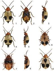 Figures 1–9. Paridea species. 1 Paridea (Semacia) houjayi sp. n., male, dorsal view 2 ditto, ventral view 3 ditto, lateral view 4 Paridea (Semacia) houjayi sp. n., female, dorsal view 5 ditto, lateral view 6 Paridea (Semacia) kaoi sp. n., male, dorsal view 7 ditto, ventral view 8 ditto, lateral view 9 Paridea (Semacia) kaoi sp. n., female, dorsal view.