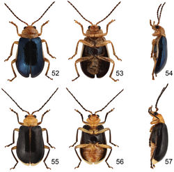 Figures 52–57. Paridea species. 52 Paridea (Paridea) cyanipennis, male, dorsal view 53 ditto, ventral view 54 ditto, ventral view 55 Paridea (Paridea) sauteri, male, dorsal view 56 ditto, ventral view 57 ditto, ventral view.