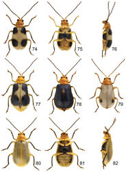 Figures 74–82. Paridea species. 74 Paridea (Paridea) taiwana, male, dorsal view 75 ditto, ventral view 76 ditto, lateral view 77 Paridea (Paridea) taiwana, black spots enlarged 78 Paridea (Paridea) taiwana, black elytra with yellow apices 79 Paridea (Paridea) taiwana, black spots reduced 80 Paridea (Paridea) testacea, female, dorsal view 81 ditto, ventral view 82 ditto, ventral view.